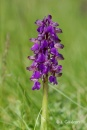 Orchis bouffon (Orchis morio).jpg