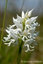 Orchis singe (Orchis simia).jpg